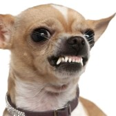 7121151-close-up-of-angry-chihuahua-growling-2-years-old-in-front-of-white-background