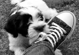 pup chewing shoe