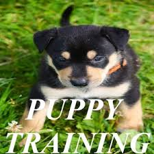pup in training